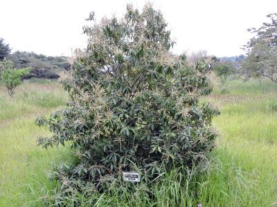 シリブカガシの画像 p1_31